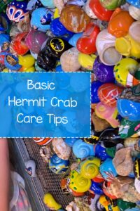 Basic Hermit Crab Care Tips on How to Care for a Hermit Crab