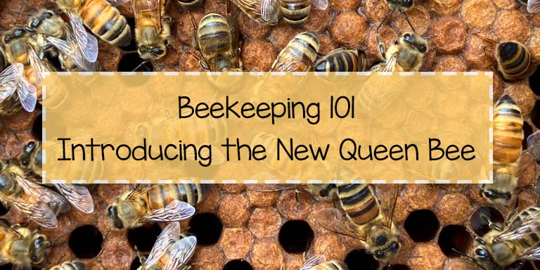 Learn how to introduce a new honey bee queen to your hive.