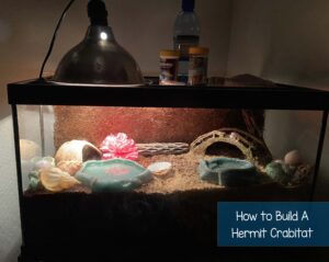 What do hermit crabs need? Checkout this affordable hermit crab crabitat.