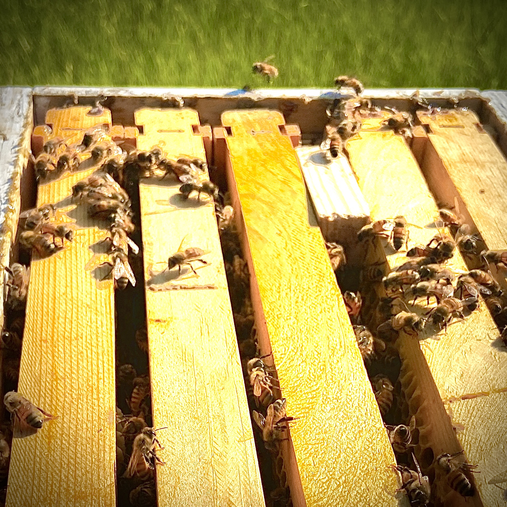 Introduce queen bee to hive using a mailing box method.